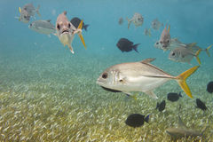 Crevalle jack. Some Crevalle jack and some blue surgeonfish Stock Images