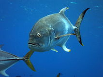 Crevalle Jack swimming Royalty Free Stock Photo