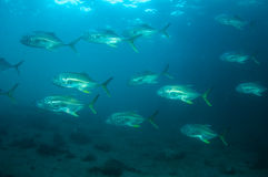Crevalle Jacks Stock Photos