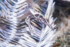 Crevette blanche de crinoid Images stock