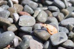 Crevette bouillie sur le caillou par la mer photographie stock