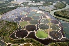 Crevette cultivant dans l'étang Photos stock