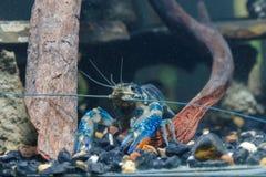 Crevette dans l'eau Photos libres de droits