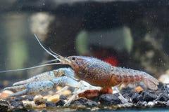 Crevette dans l'eau Photo stock