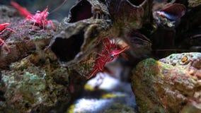 Crevette de bec de charnière dans le réservoir d'eau, c'est belle petite crevette dans l'aquarium images libres de droits