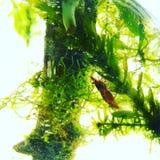 Crevette de cerise Photographie stock libre de droits