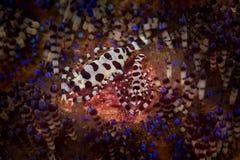 Crevette de Coleman Photo libre de droits