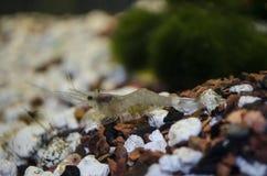 Crevette de Ghost femelle avec des oeufs évidents Image stock