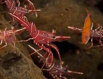 Crevette de Hingebeak Photos libres de droits
