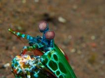 Crevette de mante de paon images libres de droits