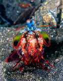 Crevette de mante de paon Photos libres de droits
