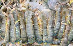 Crevette de Mantis Photographie stock