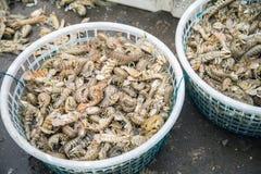 Crevette de Mantis Photographie stock libre de droits