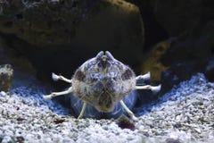 Crevette de mantis de zèbre Image libre de droits