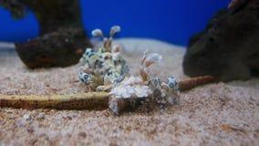 Crevette de mer dans l'aquarium banque de vidéos