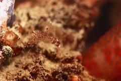 Crevette en Papouasie photo libre de droits