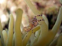 Crevette et anémone lumineuses photos libres de droits