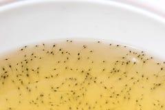 Crevette larvaire dans la cuvette en plastique photo libre de droits