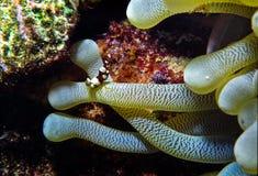 Crevette micro dans une anémone photographie stock