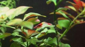 Crevette rouge clips vidéos