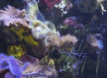 Crevette sur des coraux photo libre de droits