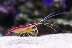 Crevette sur le fond marin photographie stock libre de droits