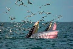 Crevettes de chasse de baleine du ` s de Bryde Photographie stock