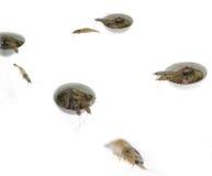 Crevettes fraîches crues photo libre de droits