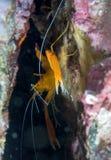 Crevettes roses en mer images stock