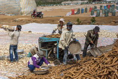 Crew collecting, cutting and drying the tapioca roots in the fie Royalty Free Stock Photo