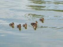 A crew of ducklings! Royalty Free Stock Photo