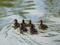 A crew of ducklings! Stock Photo