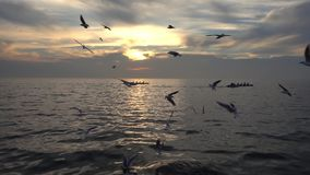 Crew rowing boats. Is a stock video that contains an extreme long shot of two boats sailing on the ocean at sunset. A flock of seagulls can be seen flying over stock footage