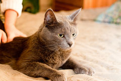 Crey cat Stock Images