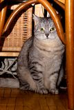 Crey tabby cat Stock Image