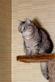 Crey tabby cat Royalty Free Stock Photography
