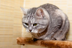 Crey tabby cat Royalty Free Stock Photos
