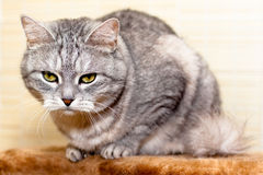 Crey tabby cat Stock Photography