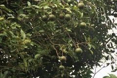 Avocado tree fruit food agriculture field leaf vitamin delicious Sao Paulo Brazil royalty free stock photos