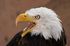 Cri d'aigle Photos libres de droits