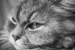 Cri en gros plan de chat Image stock