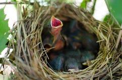 Cri nouveau-né d'oiseau pour la nourriture dans l'emboîtement Photographie stock
