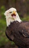 Cri perçant américain d'aigle chauve Image stock