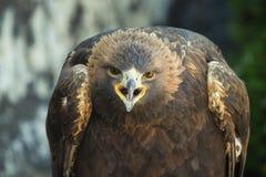 Cri perçant d'aigle d'or Photographie stock libre de droits