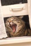 Cri perçant de chat Photographie stock libre de droits