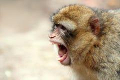 Cri perçant de singe Photographie stock libre de droits