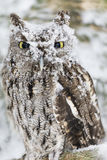 Cri strident occidental Owl In The Snow Image stock