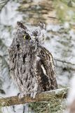 Cri strident occidental Owl In The Snow Photo stock