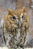 Cri strident Owl Closeup Image libre de droits