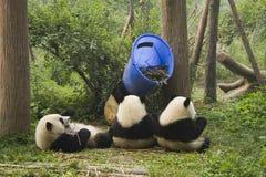 Criação de animais da panda de Chengdu e centro de pesquisa Foto de Stock Royalty Free